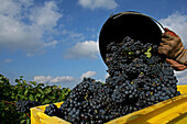 Grape Harvest In The Vineyards Of Ay, Marne (51)