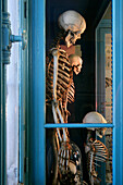 Human Skeletons, Hall Of Human Anatomy, Museum Of Natural History In Rouen, Seine-Maritime (76), France