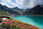 Alpine roses blooming at reservoir Finstertal, Sellrain, Stubai Alps, Tyrol, Austria