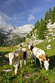Cattle grazing on alpine pasture, La Varella, Naturpark Fanes-Sennes-Prags, Dolomites, Trentino-Alto Adige/South Tyrol, Italy