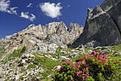 Blooming alpine roses, Vernel, Marmolada, Dolomites, Trentino-Alto Adige/South Tyrol, Italy