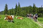 Group of hikers with children passing pasture with cattle, Bavarian Alps, Upper Bavaria, Bavaria, Germany