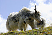 Yak with young animal, Tessin Alps, Canton of Tessin, Switzerland