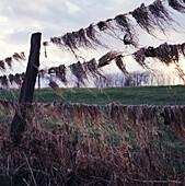Dry grass in a fence, pastureland at river Rhine, Dusseldorf, North Rhine-Westphalia, Germany