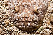 Star Gazer, Uranoscopus scaber, Croatia, Istria, Adriatic Sea, Mediterranean Sea