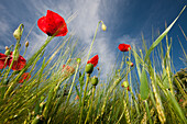 Red Poppy in Corn Field, Papaver rhoeas, Germany, Munich, Bavaria