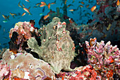 Green Giant Frogfish, Antennarius commersonii, Maldives, North Ari Atoll