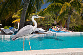 Grey Heron at Pool of Maldive Island Kandooma, Ardea cinera, Maldives, South Male Atoll