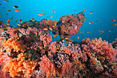 Soft Coral Reef with small Anthias Fishes, Pseudanthias squamipinnis, Maldives, Kandooma Caves, South Male Atoll