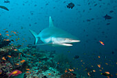 Grey Reef Shark, Carcharhinus amblyrhynchos, Maldives, Guraidhoo Channel, South Male Atoll