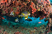 Oriental Sweetlips in Coral Reef, Plectorhinchus vittatus, Maldives, Kandooma Thila, South Male Atoll