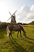 Horse on pasture, windmill in background, Oldsum, Foehr island, Schleswig-Holstein, Germany