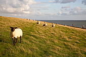 Sheep on dike, Alte Kirche, Pellworm island, Schleswig-Holstein, Germany