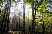 Deciduous forest in the sunlight, Masuria, Baltic coast, Poland, Europe