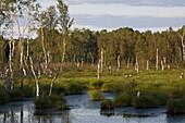 moor landscape, swamp, birch trees, Toten Moor, Dead Moor, Lower Saxony, northern Germany