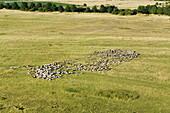 aerial view mob of sheep, region Hanover, Lower Saxony, northern Germany