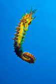 Longsnouted Seahorse, Hippocampus ramulosus, Tamariu, Costa Brava, Mediterranean Sea, Spain