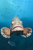 Dusky Grouper, Epinephelus marginatus, Carall Bernat, Medes Islands, Costa Brava, Mediterranean Sea, Spain