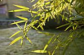 Bamboo plant in the sunlight, residential area o the ethnic group of the Hakka, Hongkeng, Longyan, Fujian, China, Asia