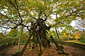 Vehm oak tree, Erle, Muensterland, North Rhine-Westphalia, Germany