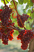 A ripe bunch of grapes, Oberkirch, Baden-Wurttemberg, Germany