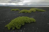 Pflanzen wachsen auf einem Lavafeld, Island, Europa