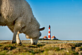 Sheep grazing near Westerheversand Lighthouse, Westerhever, Schleswig-Holstein, Germany