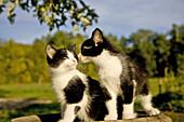 kittens in birdbath,  MR 6065
