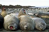Elephant seal juvenilles sparing,  Sandy Bay,  Macquarie Island,  World Heritage Site