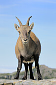 Alpine Ibex (Capra ibex),  female/goat. Niederhorn,  Switzerland.