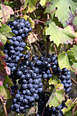 Dark blue grapes for fine redwine hanging between green and braun autumn leaves in the grapevine of a vineyard in the hills of Gabiano,  Piemont,  Italy,  Europe
