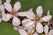 Almond tree (Prunus dulcis) flowers