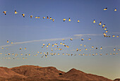 Snow goose,  Anser caerulescens,  Schneegans,  flock in flight,  blue sky,  winter quarters,  Bosque del Apache National Wildlife Refuge,  New Mexico,  USA