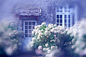 Color, Colour, Cottage, Cottages, Country house, Country houses, Daytime, Door, Doors, exterior, Facade, Façade, Facades, Façades, flower, flowers, Gardening, Hortensia, Hortensias, Horticulture, Hydrangea, Hydrangeas, Nobody, outdoor, outdoors, outside,
