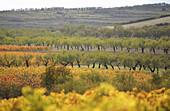 Vines and almond trees in autumn,  Rioja wine region,  Spain,  Europe