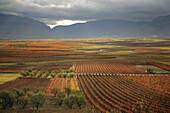 Vines in Leza valley,  Rioja wine region,  Spain,  Europe