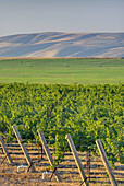 View of vineyards on Goose Ridge a premium wine growing area of the famed Columbia Valley Washington USA