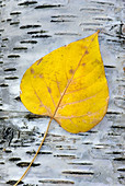 Arrangement, Autumn, Balance, Balanced, Bark, Classic, Close-ups, Color, Colorful, Colour, Colourful, Deciduous, Elegant, Fall, Foliage, Form, Getaway, Glacier National Park, Golden, Gray, Grey, Leaf, Leaves, Macro, Majchrowicz, Montana, National Park, Sh