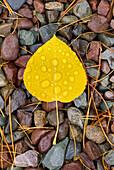 Rain drops on fallen Aspen leaves Populus tremuloides,  Glacier National Park Montana USA