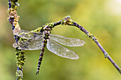 Southern Hawker female Aeshna cyanea known as the Blue-green Darner in the Western Hemisphere - Franconia,  Bavaria/Germany