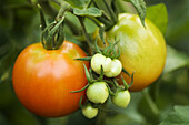 Two Large Red Tomatos and a Bunch of Small Green Tomatoes Growing on Plant. Solanum lycopersicon