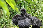 Female mountain gorilla carrying baby on her back (Gorilla beringei beringei) Volcanoes National Park,  Rwanda,  Africa