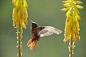 Amazilia hummingbird (Amazilia amazilia) flightfeeding on agave blossom,  Chaparri Ecological Reserve,  Peru,  South America