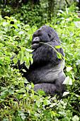Male mountain gorilla eating leaves (Gorilla beringei beringei) Volcanoes National Park,  Rwanda,  Africa