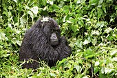 Female mountain gorilla protecting herself from the cold by putting the arms around her body (Gorilla beringei beringei) Volcanoes National Park,  Rwanda,  Africa