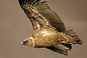 Animal, Animals, Bird, Bird of prey, Color, Colour, Fauna, Flight, Fly, Griffon Vulture, Griffon Vultures, Gyps fulvus, nature, Predatory, Spain, Wild, Wildlife, T69-850925, agefotostock