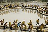 Hani Akha men threshing rice in Yuanyang China
