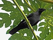 A house crow,  Corvus Splendens is seating on a papaya tree Chiplun,  Ratnagiri,  Maharashtra,  India