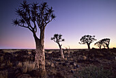 Quiver tree Aloe dichotoma