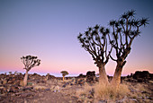 Quivertrees in a forest,  close to the Southern Kalahari Aloe dichotoma,  also known as ´Kokerboomwoud´